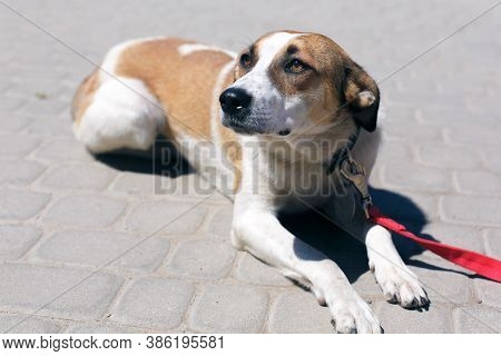 Adorable Scared Brown And White Dog Portrait In Sunny Street, Homeless Doggy On A Walk
