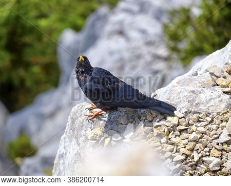 Alpine Chough, Or Yellow-billed Chough, Pyrrhocorax Graculus Standing On A Rock