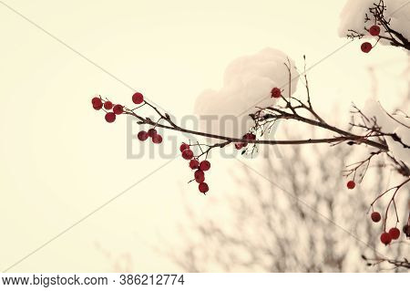 Frozen Food. Climate Control. Seasonal Berries. Christmas Rowan Berry Branch. Hawthorn Berries Bunch