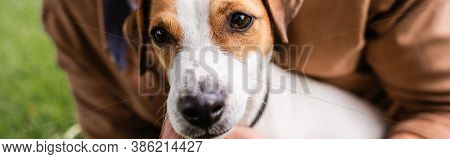Partial View Of Man Near White Jack Russell Terrier Dog With Brown Spots On Head, Horizontal Image