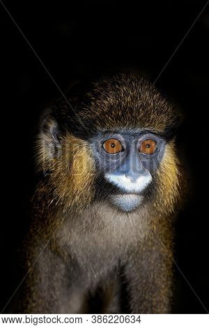 Head Close-up Of Moustached Monkey Or Mustached Monkey Cercopithecus Cephus Against Black Background