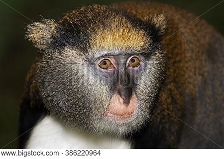 Head Close-up Of Campbell's Monkey Cercopithecus Campbelli