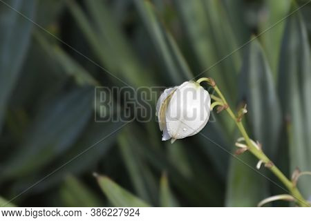 Spanish Dagger Flower - Latin Name - Yucca Gloriosa
