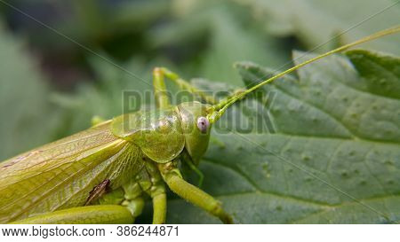 A Large Green Locust Is Sitting On A Leaf, The Selected Focus Is Only On The Head. Wild Animals And