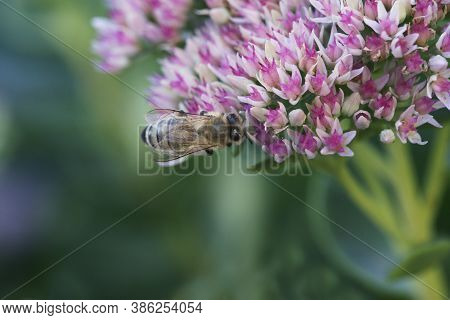 Bee On A Flower Of The Sedum (stonecrop) In Blossom.