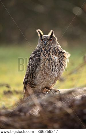 The Eurasian Eagle-owl (bubo Bubo) Sitting On The Trunk.