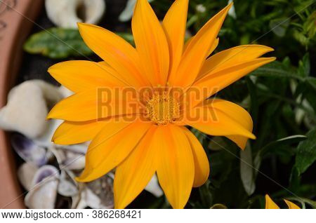 Close Up Of Gazania Flower Or African Daisy In A Garden