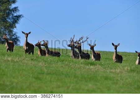 Fly Insects Flying Around The Fur Of Deer On A Pasture Meadow