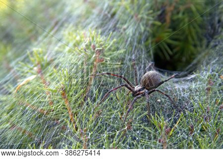 Close Up Of A Venomous Funnel Web Spider Leaving Its Funnel Like Web Nest In An Evergreen Shrub