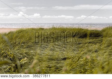Lodged Reed Thickets On The Sandy Shore Of The Gulf Of Bothnia