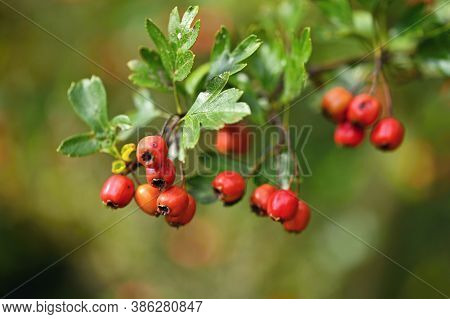 Rowan Berries On A Branch. (sorbus Alnifolia), (sorbus Aucuparia)