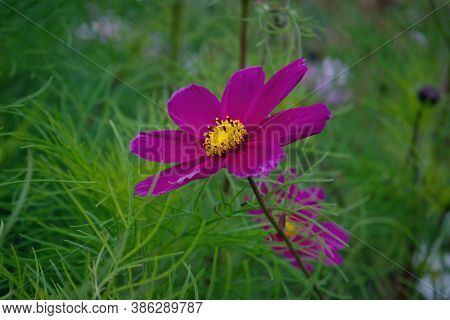 Beautiful Purple Cosmos Flowers In The Garden. Violet Flowers Pictures. Cosmos Bipinnatus, Commonly