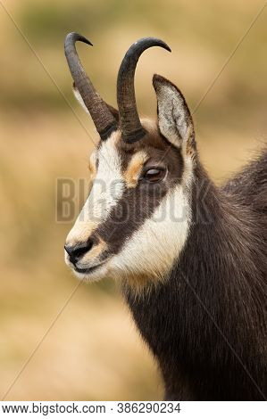 Close-up Of Tatra Chamois Looking In Mountains In Autumn Nature.