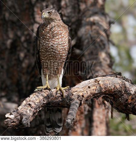 A Large Peregrine Falcon Surveys His Domain.