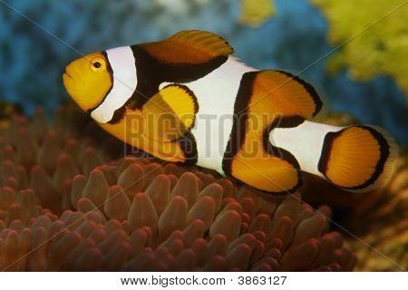 Anemonefish Clownfish