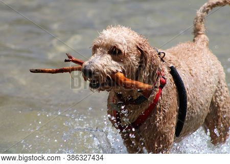 Golden Doodle Dog Playing Fetch With A Stick In A Lake On The Water