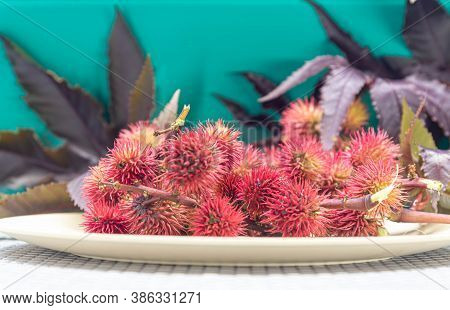 Red Castor Fruits (ricunus Communis). Toxic And Exotic Plant. Landscaping And Floriculture. Red Cast