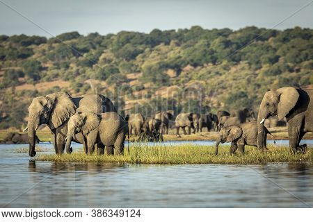 Elephants Standing On A Grassy Bank Of Chobe River Drinking Water In Late Afternoon In Botswana