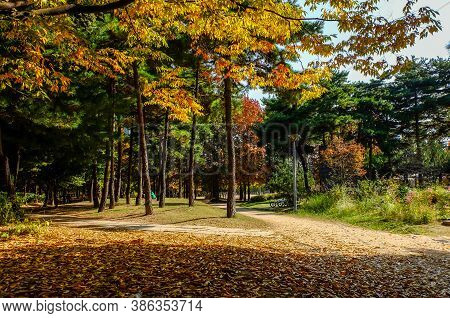 Autumn In South Korea Colorful Of Ginkgo Tree And Maple Tree At Seoul Forest Park ,south Korea.