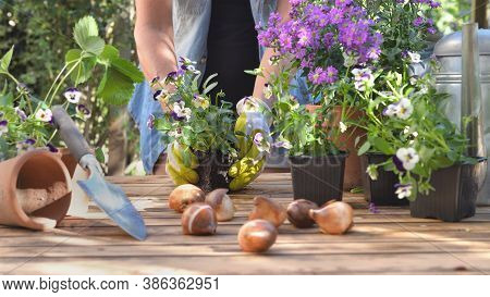 Gardener Holding A Viola  Flower Pot Potting  On A Table In Garden