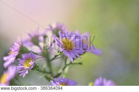 Close  On Pink Aster Flowers Blooming On Blur Background