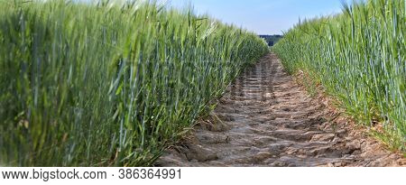 View On Dirt Path Crossing A Wheat Growing In A Field