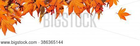 Red  Autumnal  Leaf Of Maple Tree In Panoramic View On White Background