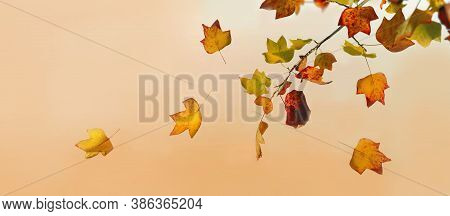 Golden And Brown Autumnal  Leaf Of A Mapple Tree In Panoramic View On Orange Background