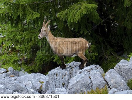 Female Wild Alpine Ibex, Capra Ibex, Or Steinbock Standing Upon A Rock In Alps Mountain, France