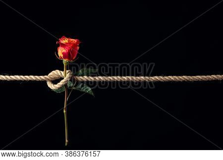 Red Rose Is Tied With A Rough Rope On A Black Background. The Concept Of Slavery Or Hostage, Restric