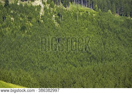 Monoculture Cultivation In The Forest