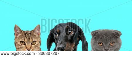 Teckel dog looking aside, metis cat looking at camera and Scottish Fold cat hiding from camera on blue background
