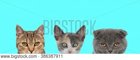 couple of cats, two metis cats and one Scottish Fold cat are standing next to each other with no occupation on blue background