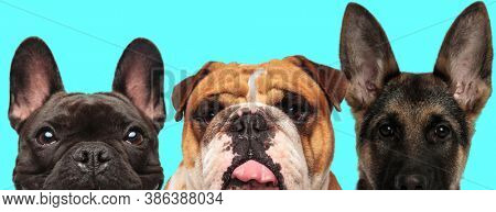 happy French Bulldog dog looking at camera with shiny eyes, American Bulldog dog sticking out tongue and German Shepherd dog standing on blue background