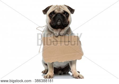 Stray Pug puppy wearing adoption sign and looking forward with puppy eyes while sitting on white studio background