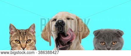Labrador Retriever dog yawning and licking mouth next to a metis cat and Scottish Fold cat on blue background