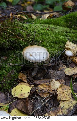 Toadstool, Close Up Of A Poisonous Mushroom In The Forest On Green Moss Ground