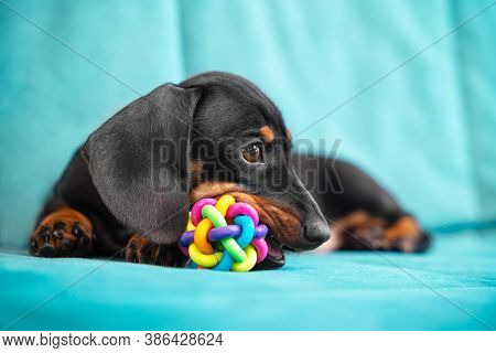 Special Accessories For Growing Fangs Of Puppy. Baby Dachshund Plays And Nibbles Silicone Toy To Scr