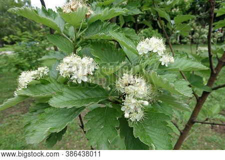 Many White Flowers Of Sorbus Aria In Mid May