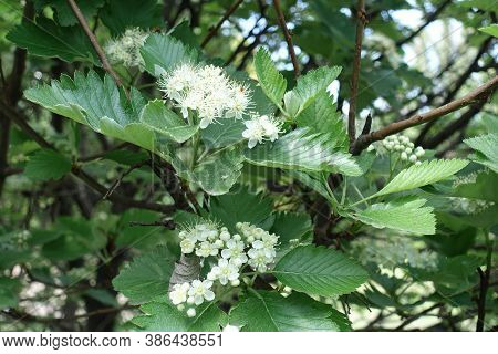 Numerous White Flowers Of Sorbus Aria In Mid May