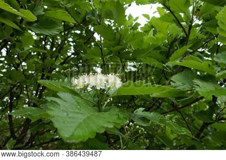 Side View Of Corymb Of White Flowers Of Sorbus Aria In May