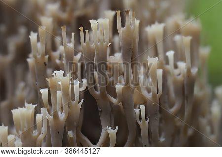 The Candelabra Coral (artomyces Pyxidatus) - Inedible , Found In Germany