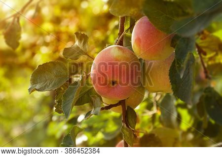 Ripe Appetizing Red Apples On An Apple Tree Branch In The Garden In The Sun. Orchard With Ripe Apple