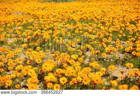 A Field Of Bright Yellow Flowers Filling The Frame
