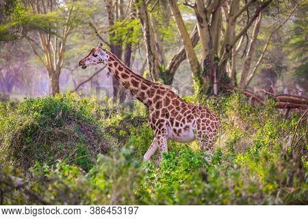 Travel to the Horn of Africa. The large picturesque giraffe grazes among the thickets of desert acacia. African savannah on the shores of Lake Nakuru. Kenia