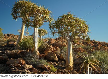 Quiver Tree Or Kokerboom In South Africa