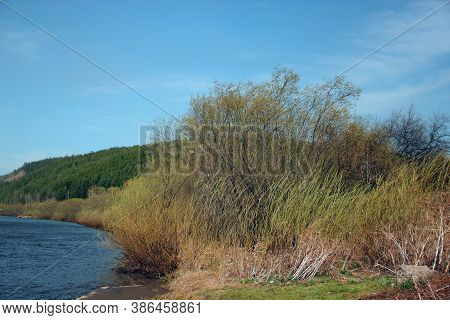 Thickets Of Bushes On The River Bank. Autumn Landscape Under Cloudless Blue Sky.