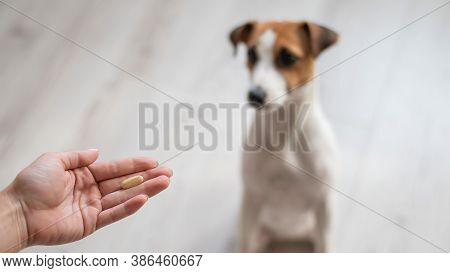 Female Veterinarian Giving Pill To Jack Russell Terrier Dog