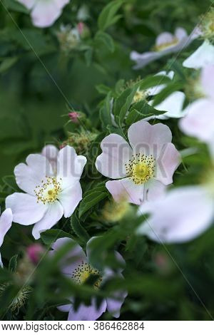 Rose Hip Bush Strewn With Pink Flowers