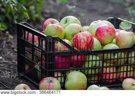 Red, Yellow And Green Apples Just Picked From An Orchard. Apples Are In A Plastic Crate On The Groun